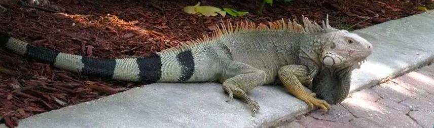 Iguana na rua em Cancun
